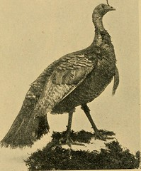 """Image from page 11 of """"California game """"marked down"""";"""" (1896)"""