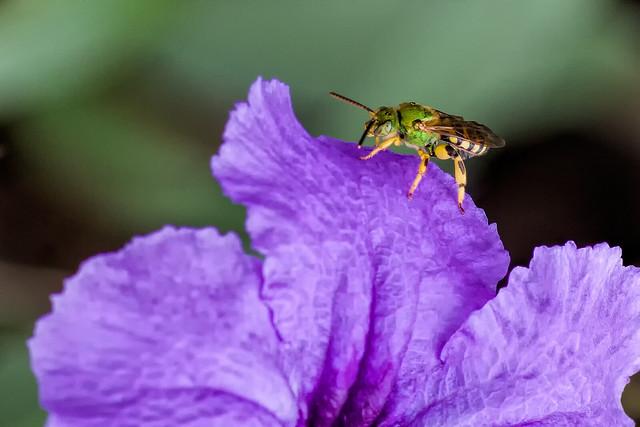Header of Agapostemon splendens