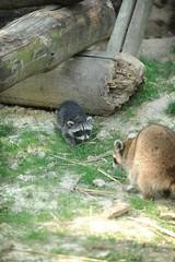 GaiaZOO - Jonge wasbeer