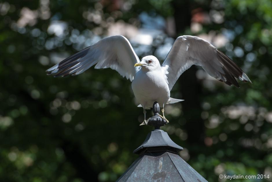 Чайка в Хельсинки