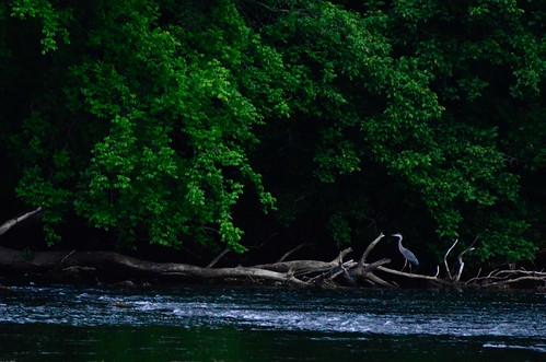trees bird heron water digital river landscape nikon blueheron newriver fowel waterfowel bissetpark d7000 nikond7000