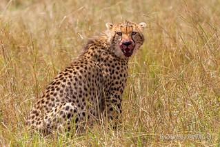Masai Mara - Cheetah after hunt