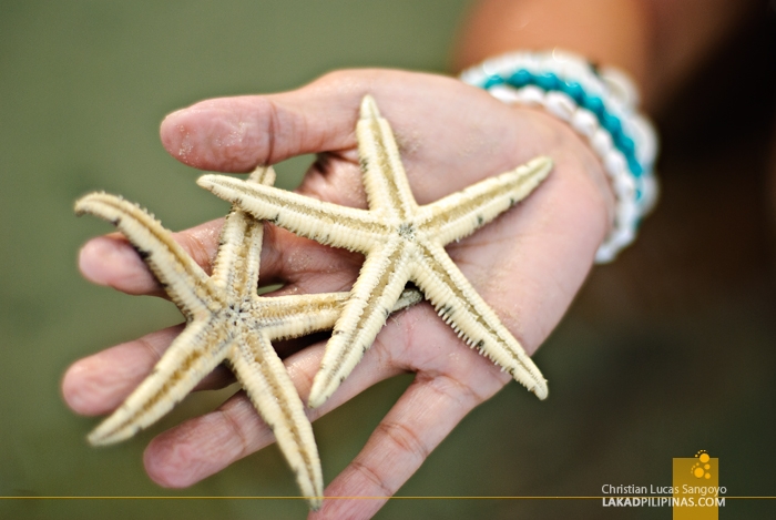 Starfishes at Tambobong Beach in Dasol, Pangasinan