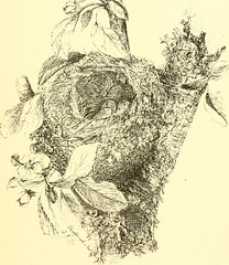 """Image from page 202 of """"The birds of Berwickshire; with remarks on their local distribution migration, and habits, and also on the folk-lore, proverbs, popular rhymes and sayings connected with them"""" (1889)"""
