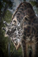 Masai Giraffe 08-09-14
