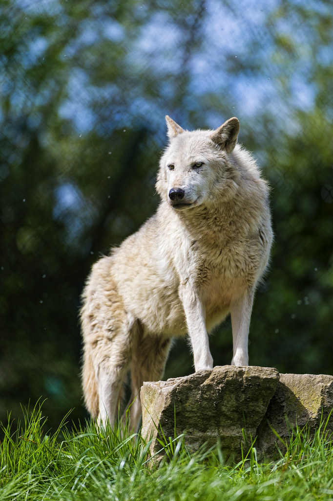 Posing timberwolf