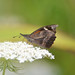 Small photo of American Snout (Libytheana carinenta)