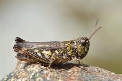 Myrmeleotettix maculatus female