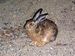 Blinded Ikarian Hare