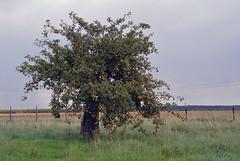 Mein Favorit - the apple tree