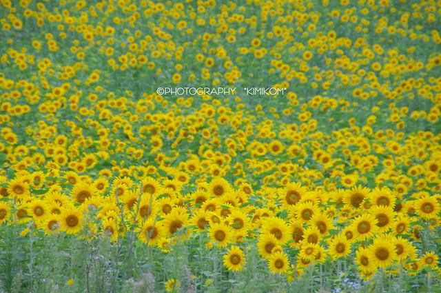 向日葵畑3