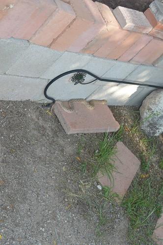 Mexican Hog-Nosed Snake (Heterodon nasicus kennerlyi)