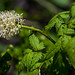 Small photo of Baneberry - Actea rubra