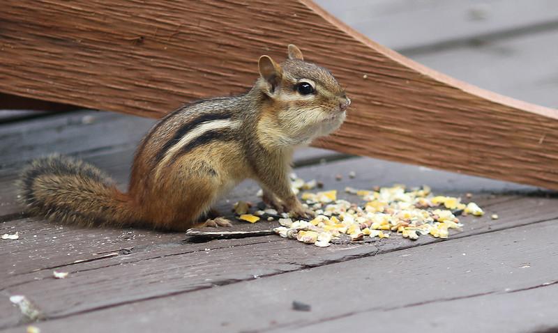 cutie chipper