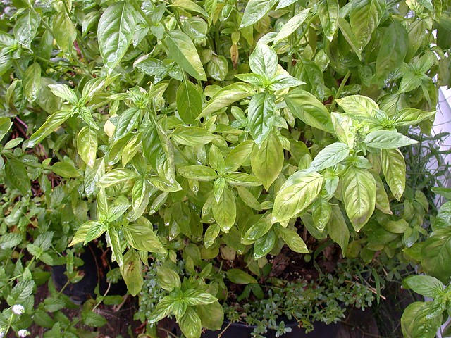 Basil downy mildew