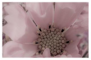 Cosmo Blossom Macro