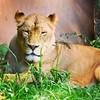 Rooaaarrr! #lion