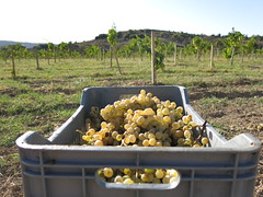 The last box of Xinisteri grapes for 2014