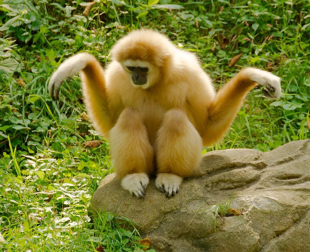 Gibbon_3