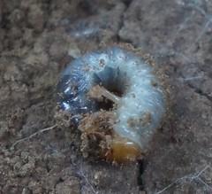 beetle grub (Japanese?)