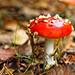 Amanita Muscaria, Fly Agaric,Lavington Common National Trust,