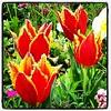 Frayed at the edges #tulips #thetron #hamgardens