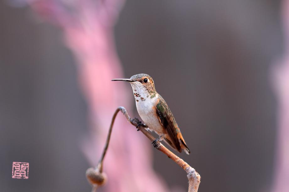 Allen's-Hummingbird-0925