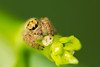 Jumping Spider (Salticidae )