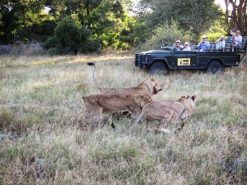 Lions fighting over impala