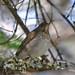 DSC_2597 Gray-cheeked Thrush (Catharus minimus) Saddleback MT June 1 2014 MJGood