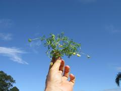 Cotula turbinata plant NC5