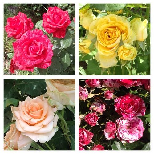 Мои розы-1.  #старыйкрым