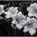 Stella del  Oros. B&W by Ted Bowman Photography