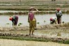 Sowing Rice in the fields of Brij