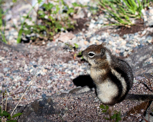 8x10 IMG_4527Yellowstone - chipmunk
