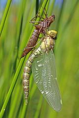 Aeshnidae