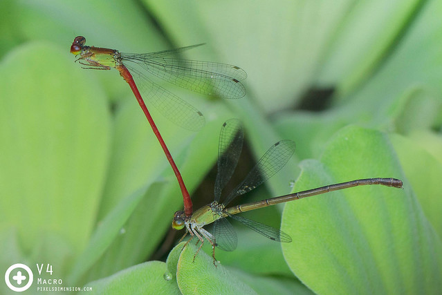 Ceriagrion chaoi pair in tandem