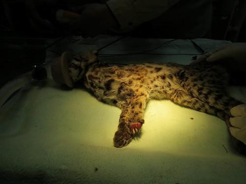 集寶在103年1月9日誘捕回來,明顯看出左前掌前端受傷,且體態消瘦。圖片來源:特有生物保育中心。