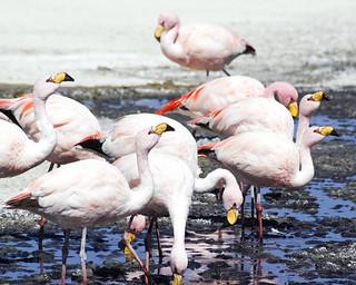 Εικόνα από Laguna Colorada. pink white lake mountains water birds rose america feeding south flock bolivia andes laguna altiplano potosi colorada flaminog jamesflamingo
