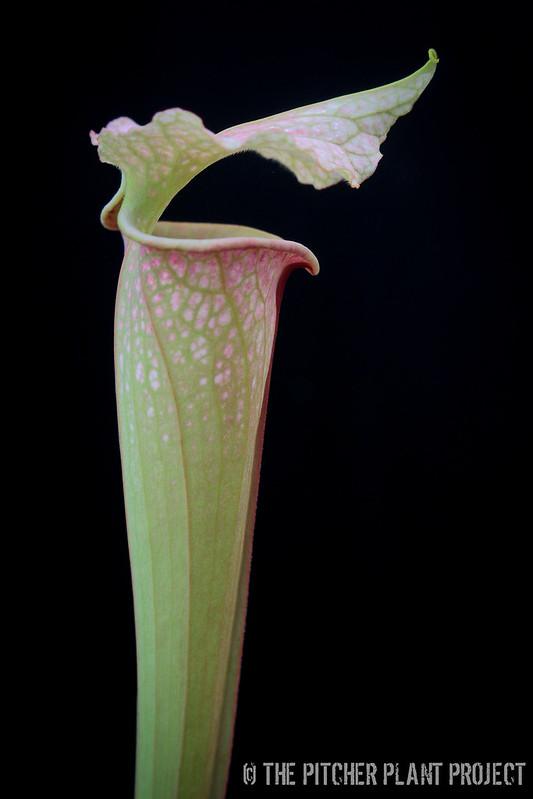 "Sarracenia leucophylla ""burgundy"" x flava v. maxima"