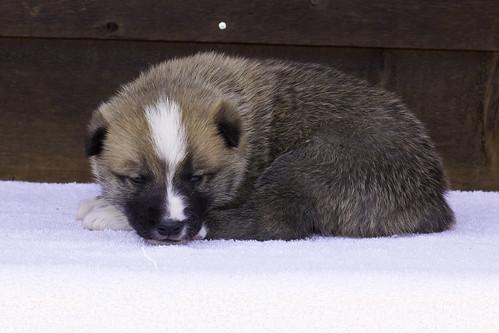 Anya-Litter1-20Days-Puppy3(Male)c
