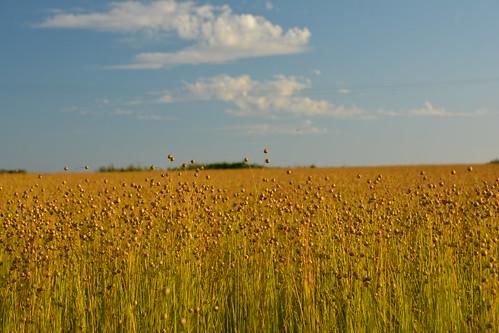summer sky field clouds landscape day belgium belgique belgie linen ciel lin été nuages paysage champ wallonie 2014 hainaut ecaussinnes pwpartlycloudy