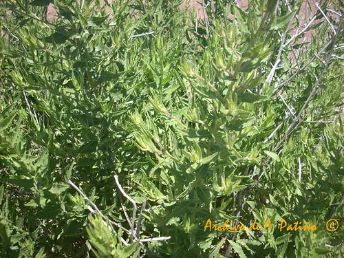 OLIVARDA (Dittrichia viscosa)