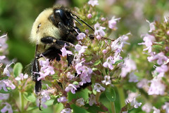 bumble bee on thyme
