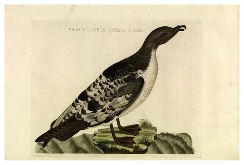 014-Pajaro de las tormentas- Nederlandsche vogelen- Nationale bibliotheek van Nederland