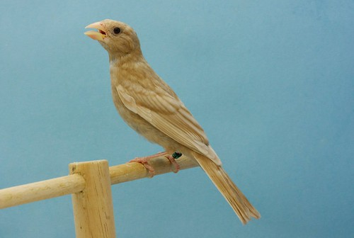 Joven carpodaco phaeo