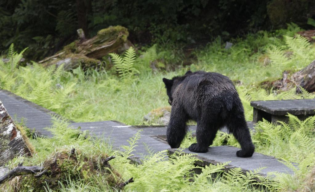 Bear on boardwalk