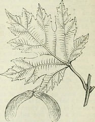 "Image from page 114 of ""The trees of America: native and foreign, pictorially and botanically delineated, and scientifically and popularly described...illustrated by numerous engravings"" (1851)"