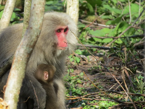 Wild macaques