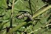 Caterpillar Eating Milkweed Leaves